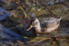 Wild Duck Swimming - free  images to use -