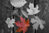 Autumn Leaves - free  images to use -