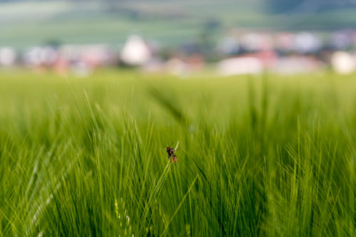 Small bug on the green wheat - free  images to use -