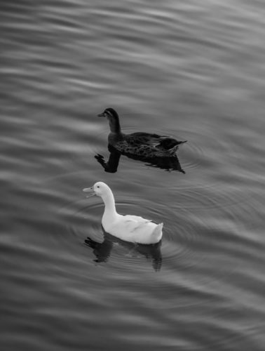 Two ducks swimming in the calm water - free  images to use -