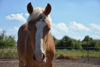 Brown Horse Posing - free  images to use -