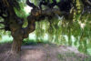 Old Willow Tree - free  images to use -