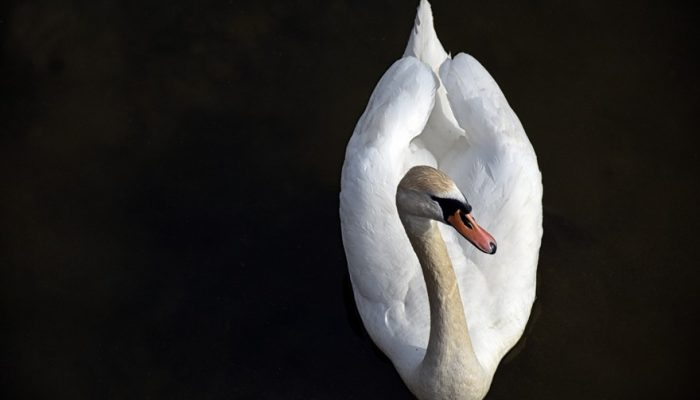 Picture of a swan swimming in river
