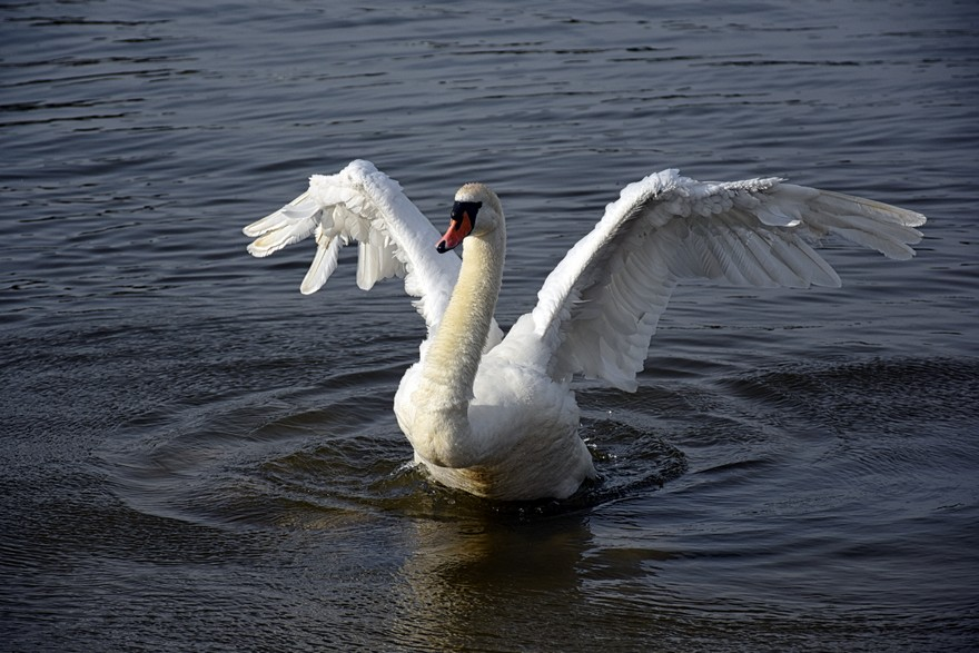 Swan spreads his wings
