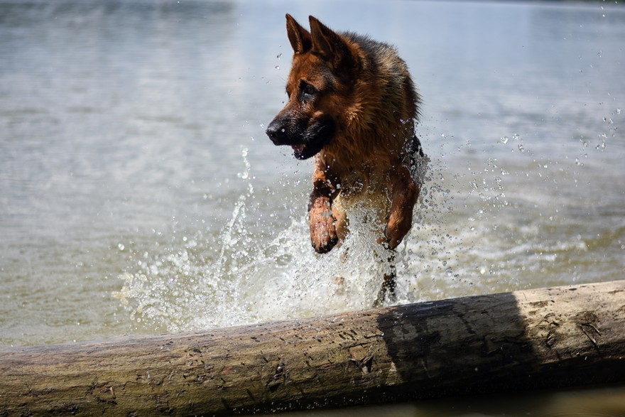 Picture of german shepherd jumping over tree log