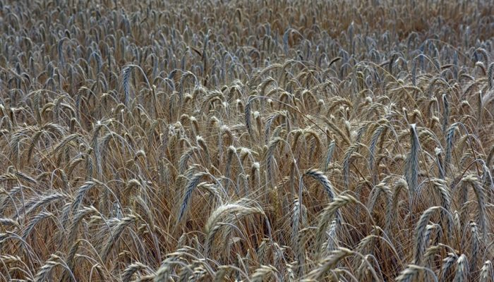 Picture of wheat field just before harvest
