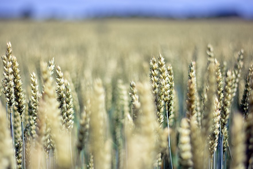 Picture of wheat field from close range