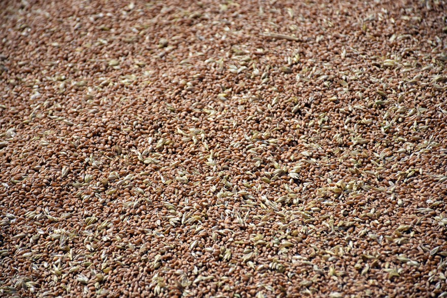 Picture of freshly harvested wheat grain