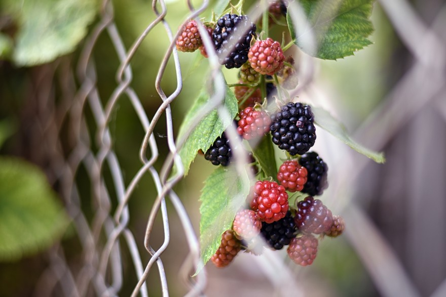 Picture of blackberries in garden