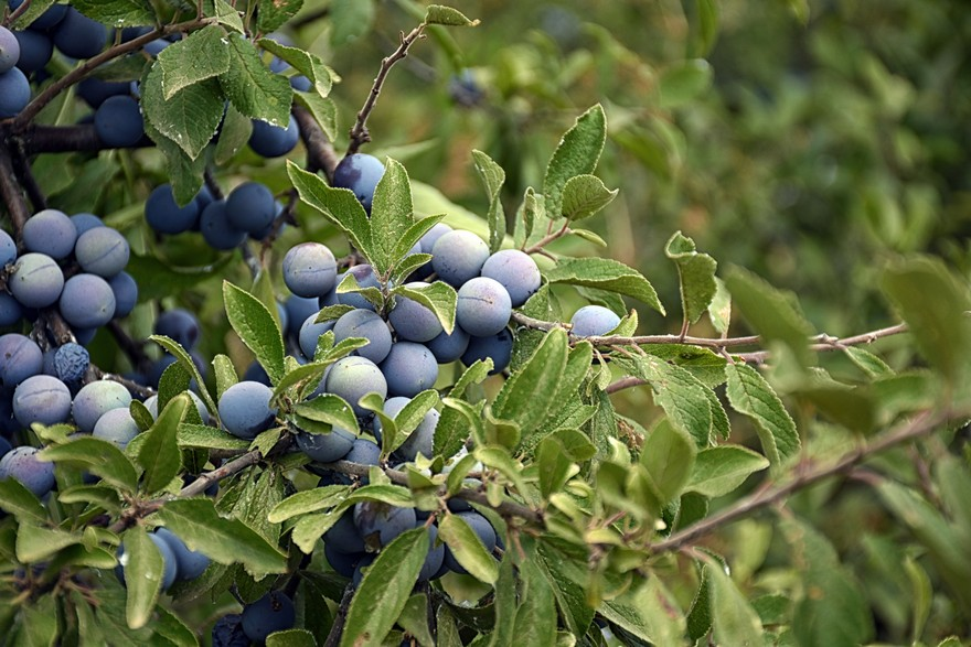 Blackthorn fruits given by nature