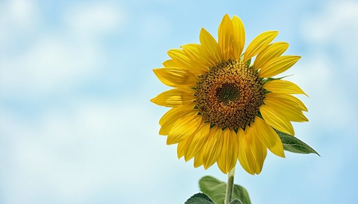 Picture of sunflower taken with my DSLR