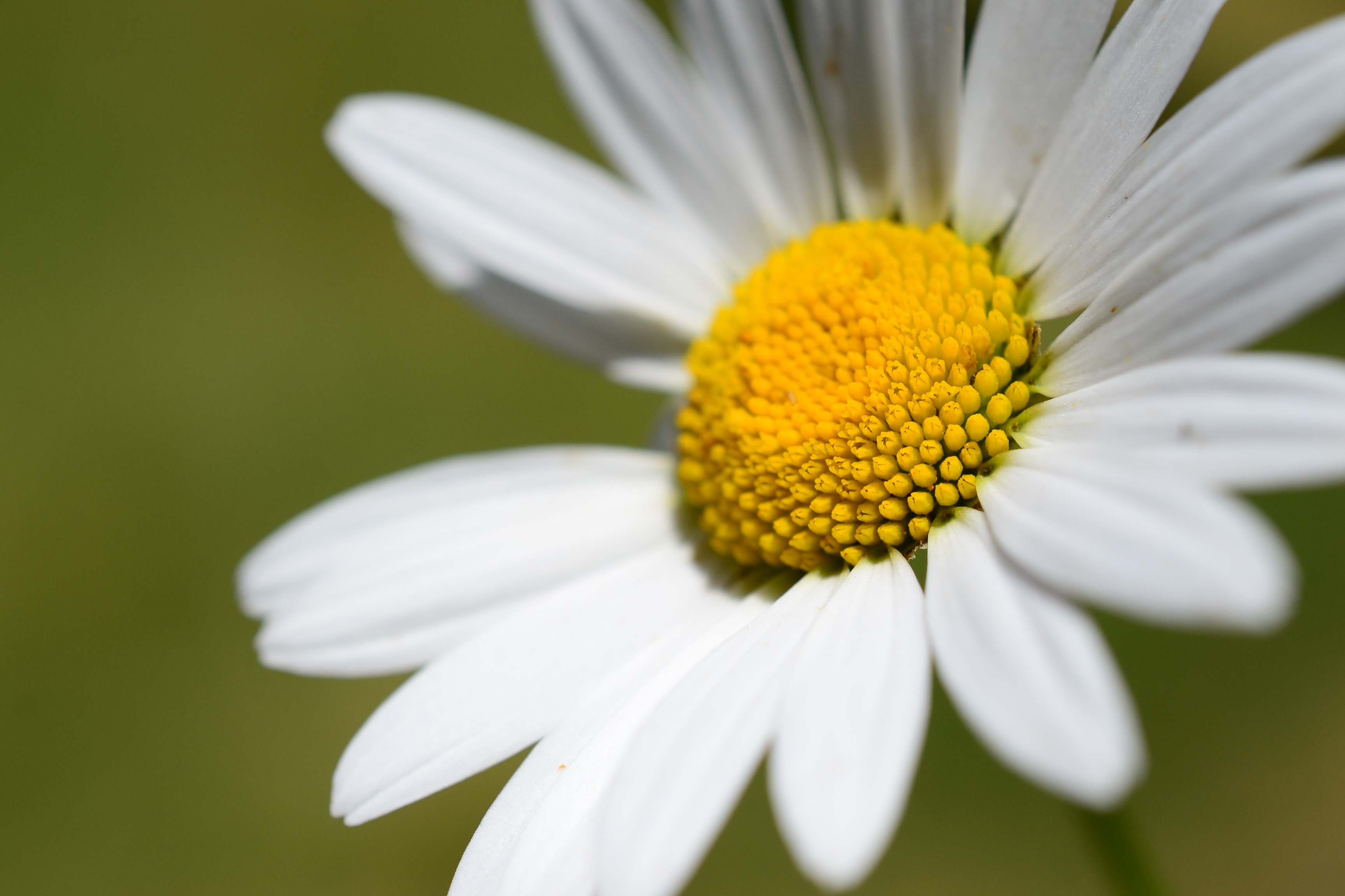 marguerite flower closeup