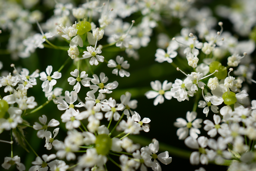 Elderberry Flower photo