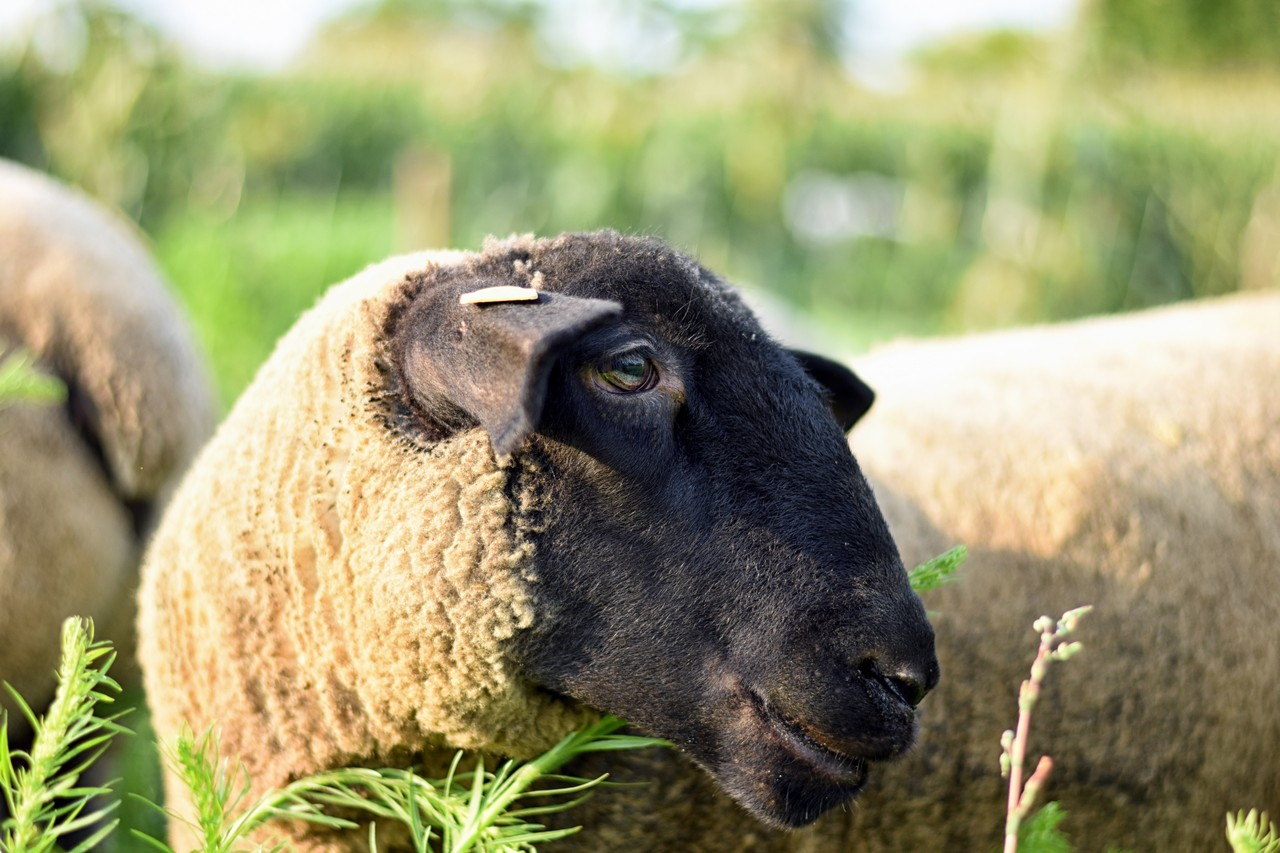 Photo of my sheep