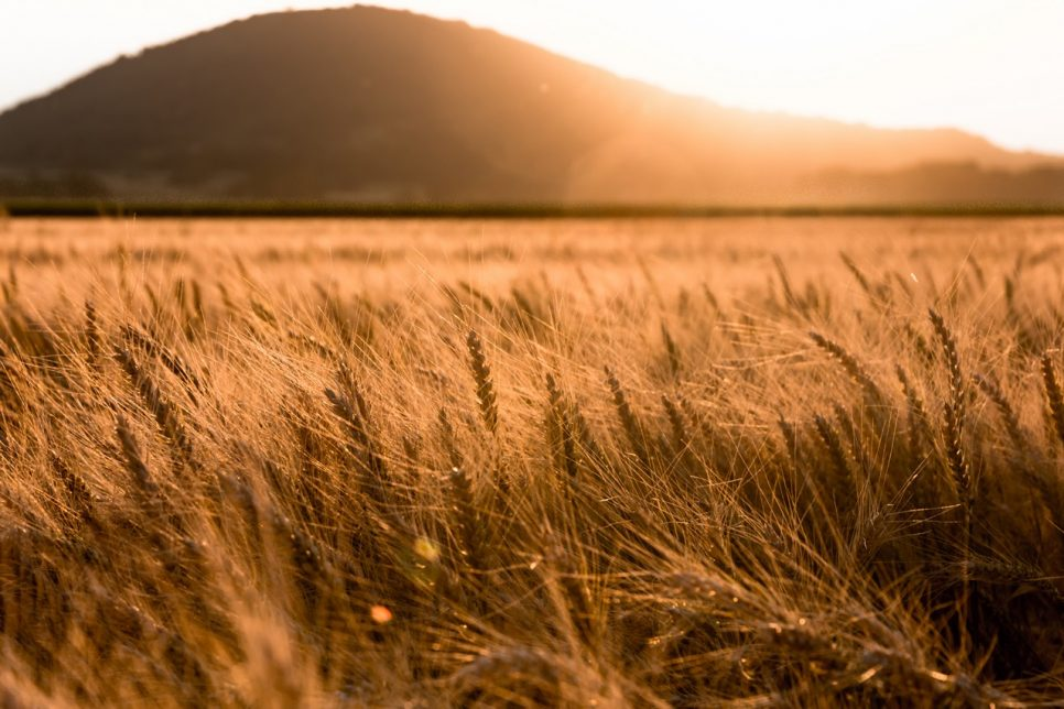 Hot summer evening in the wheat field