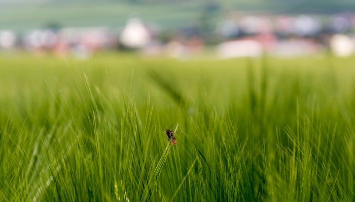 Small bug on the green wheat