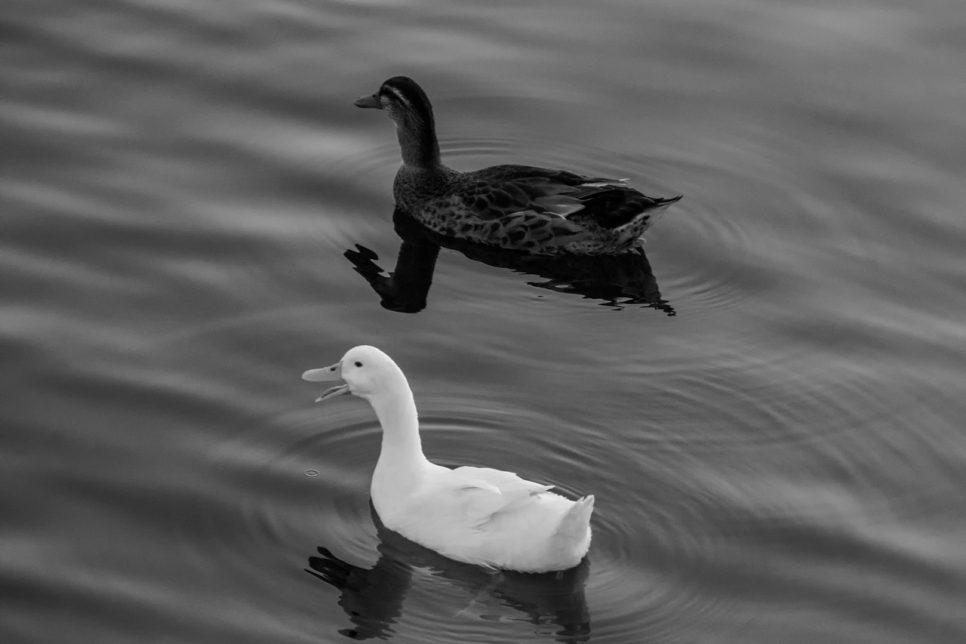 Two ducks swimming in the calm water
