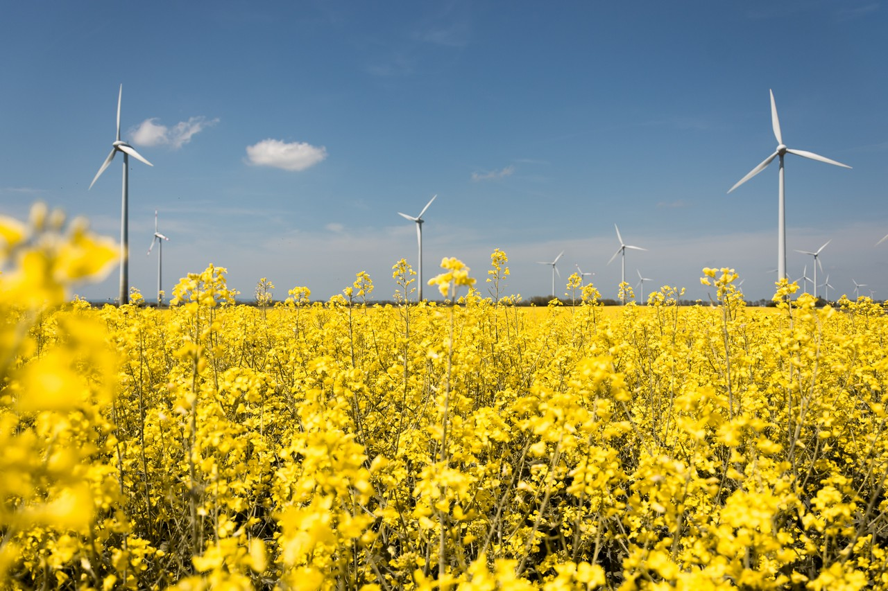 Canola field - free nature images to use - yellow, windturbines, summer, field