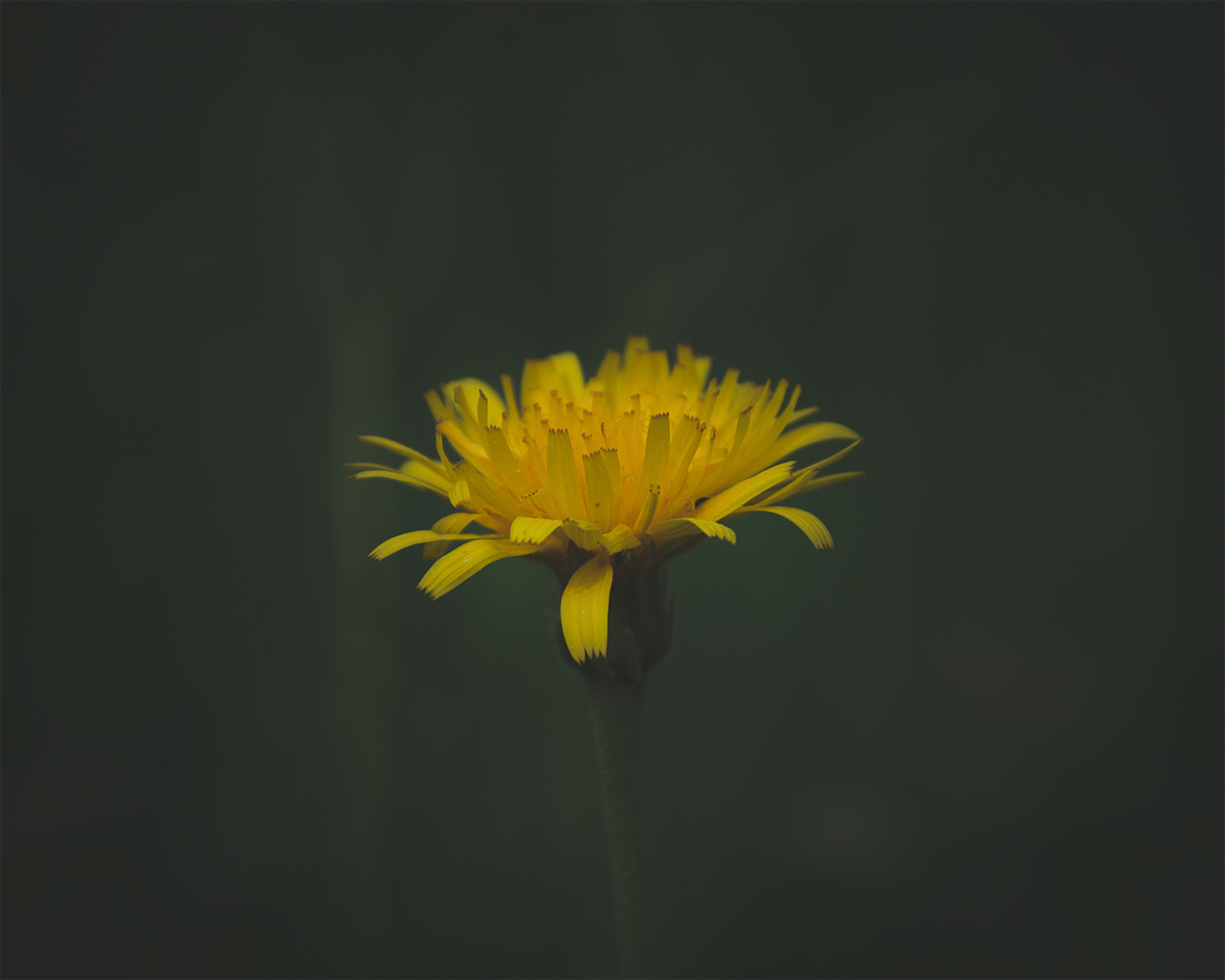The Lonely Dandelion - free nature images to use - yellow, flowers, flower